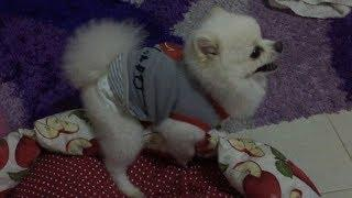 Funny Dog Don't Want to Sleep TRY NOT TO LAUGH